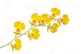 Yellow Orchid Small Yellow Orchid Flower Isolated On White Background Stock