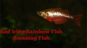 tropical fish 4 rainbow fish species imperial tropicals