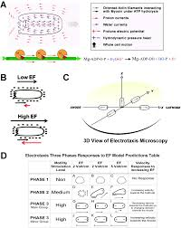 a bioenergetic mechanism for amoeboid like cell motility profiles