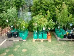 ornamental trees plants gumtree australia barossa area