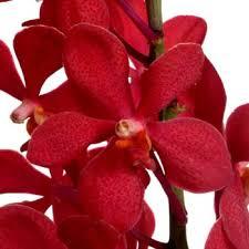 orchids flowers mokara orchids flower