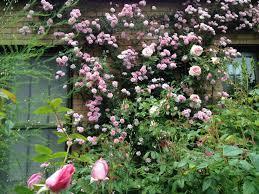 dwarf climbing roses dirt simple