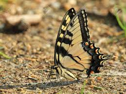 eastern tiger swallowtail butterfly with closed wings mud puddling