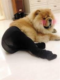 Pantyhose Meme - image 526219 dogs wearing pantyhose know your meme