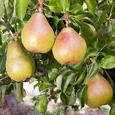 doyenne du comice pear buy pear trees purchase pear fruit trees