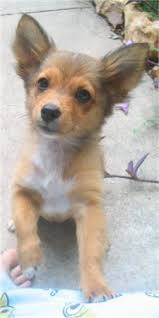 australian shepherd 3 mesi dameranian dachshund pomeranian hybrid i mean seriously