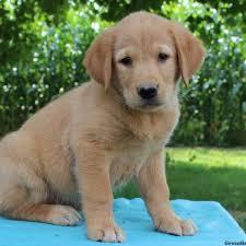 bluetick coonhound labrador retriever mix for sale golden retriever mix puppies for sale in de md ny nj philly dc and
