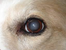 canine cataracts affect dogs of all ages