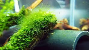how to deal with aquarium algae u2022 aquascaping love