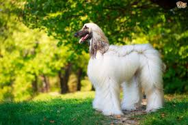 afghan hound weight longevity health and care considerations for the afghan hound