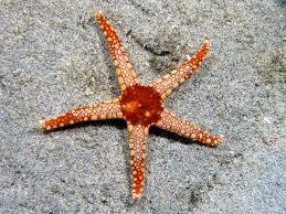 starfish wikipedia