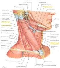 Borders Of The Heart Anatomy Fac06 15figure L Jpg 1360 1050 Anatomy Pinterest Muscle