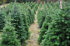 where to cut your own christmas tree in san diego la jolla blue