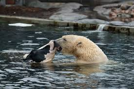 the polar bear in copenhagen zoo gets a cow head about once a week