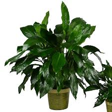 peace lily classic peace lily