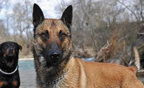 belgian shepherd vs rottweiler menace in the woods news lead cleveland scene