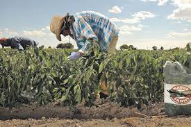 Farm To Table Denver by Colorado Green Chiles Bringing Heat To The Table U2013 The Denver Post