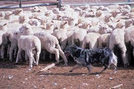 australian shepherd herding sheep australian shepherd dog breeds at mypetsmart com