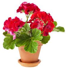 indoor flowering plants image gallery indoor flowering plants