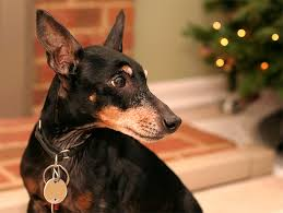 boxer dog kills man manchester terrier dog breed information pictures