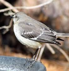 file sllent mockingbird backyard birds cary jpg wikimedia commons