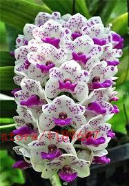 cymbidium orchid aliexpress buy 100pcs cymbidium orchid orchid cymbidium