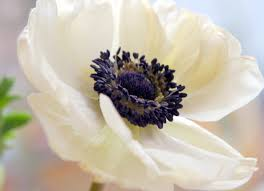 anemones flowers let s learn about flowers anemone edition planning it all