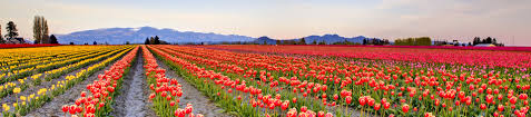 Skagit Valley Tulip Festival Bloom Map Spring Is Here Skagit Valley Tulip Fields Wa Mhs2go Rv Blog