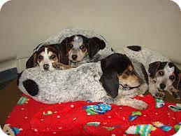 bluetick coonhound beagle spots litter adopted puppy baltimore md bluetick coonhound
