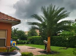 sylvester palm tree price sylvester date palm also known as silver date palm i heart this