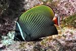 Image result for Chaetodon collare
