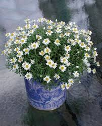 best australian native hedge plants know your daisies