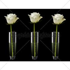 White Roses In A Vase White Rose In A Glass Vase Gl Stock Images