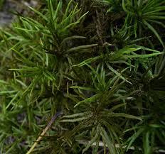 american tree moss climacium americanum americanum