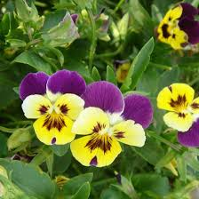 200pcs lot color mixing pansy seeds small butterfly cat face seed