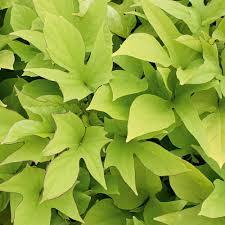 sweet caroline light green sweet potato vine ipomoea batatas