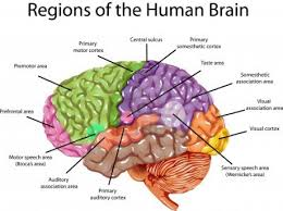 human brain parts and functions diagram head archives page 7 of