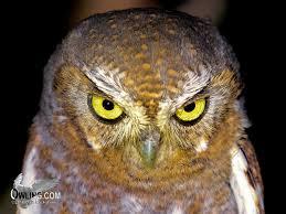 elf owl biology owling com