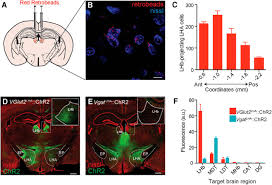 lateral hypothalamic area glutamatergic neurons and their