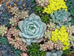 how to grow succulents saga