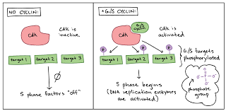 cell cycle checkpoints article khan academy