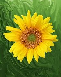 salina ks sunflower field by kansas state university kansas photographs fine art america