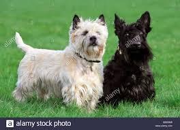 scottish terrier stock photos u0026 scottish terrier stock images alamy