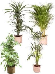 plante d駱olluante chambre pack 4 grandes plantes vertes dépolluantes d intérieur