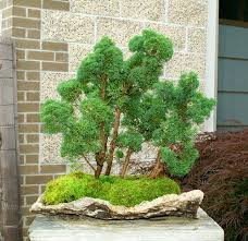 145 best bonsai images on bonsai trees plants and