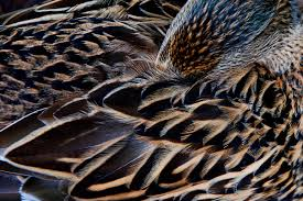 103 best feathers images on pinterest bird feathers textures