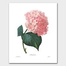 pink hydrangea hydrangea pink flower room redoute botanical