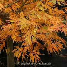 acer shirasawanum green snowflake japanese maples