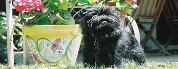 affenpinscher breeders canada lovemytrooper com responsible breeder jessica gruninger