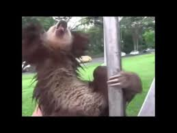 Angry Sloth Meme - sloth doesn t want to go youtube
